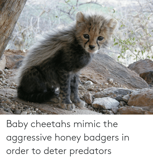 honey badgers: Baby cheetahs mimic the aggressive honey badgers in order to deter predators