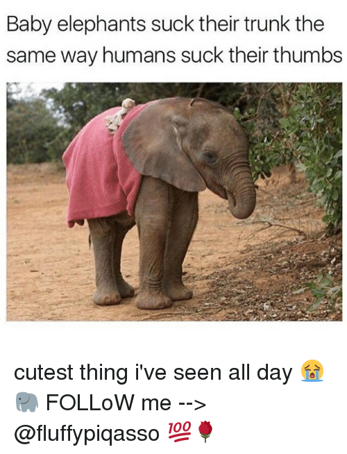 Baby Elephants: Baby elephants suck their trunk the  same way humans suck their thumbs cutest thing i've seen all day 😭🐘 FOLLoW me --> @fluffypiqasso 💯🌹