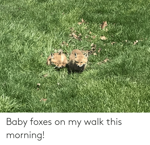 foxes: Baby foxes on my walk this morning!