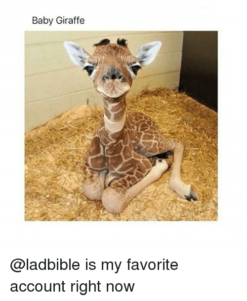 baby giraffe: Baby Giraffe @ladbible is my favorite account right now