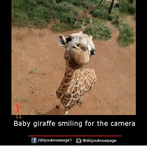 baby giraffe: Baby giraffe smiling for the camera  /didyouknowpagel  @didyouknowpage