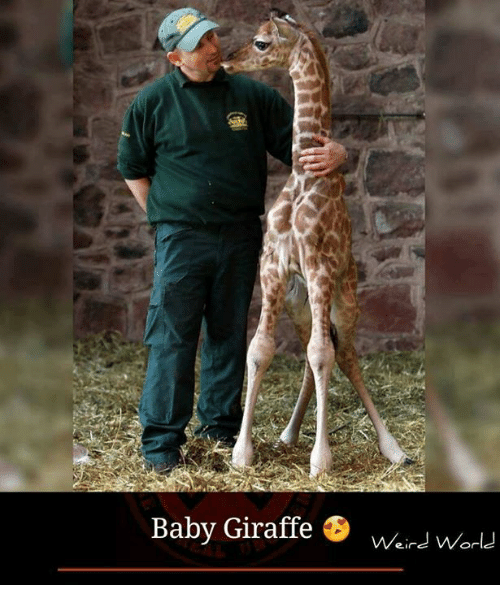 baby giraffe: Baby Giraffe  Weird World
