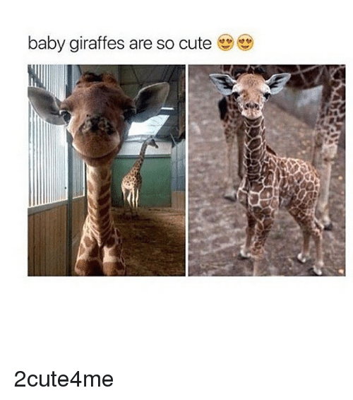 baby giraffe: baby giraffes are so cute 2cute4me