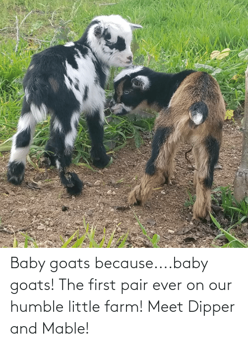 dipper: Baby goats because....baby goats! The first pair ever on our humble little farm! Meet Dipper and Mable!