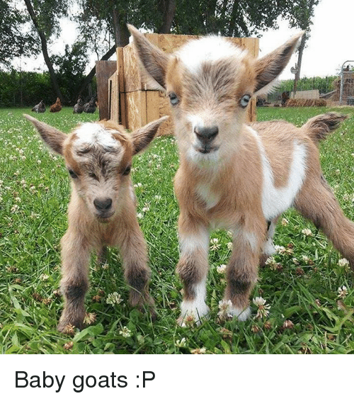Baby Goats: Baby goats :P