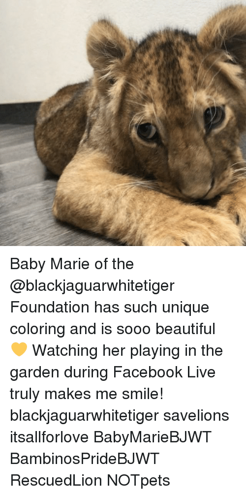 Facebook Live: Baby Marie of the @blackjaguarwhitetiger Foundation has such unique coloring and is sooo beautiful 💛 Watching her playing in the garden during Facebook Live truly makes me smile! blackjaguarwhitetiger savelions itsallforlove BabyMarieBJWT BambinosPrideBJWT RescuedLion NOTpets
