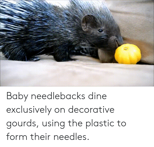 gourds: Baby needlebacks dine exclusively on decorative gourds, using the plastic to form their needles.