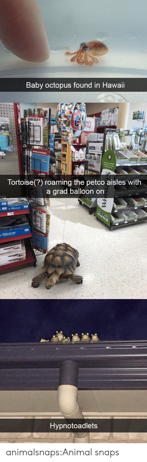 balloon: Baby octopus found in Hawaii   Tortoise(?) roaming the petco aisles With  a arad balloon on  PET PAD   Hypnotoadlets animalsnaps:Animal snaps
