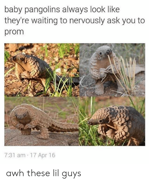 Nervously: baby pangolins always look like  they're waiting to nervously ask you to  prom  7:31 am 17 Apr 16 awh these lil guys