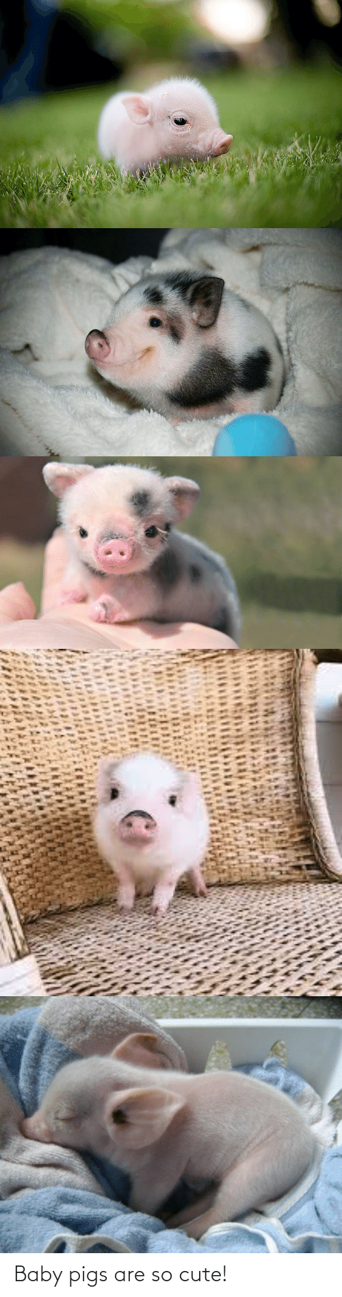 pigs: Baby pigs are so cute!