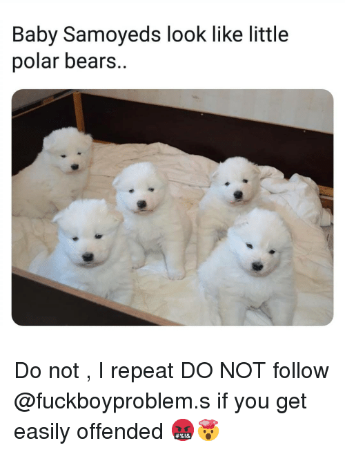 Memes, Bears, and Baby: Baby Samoyeds look like little  polar bears. Do not , I repeat DO NOT follow @fuckboyproblem.s if you get easily offended 🤬🤯