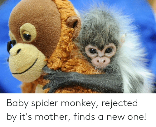spider monkey: Baby spider monkey, rejected by it's mother, finds a new one!