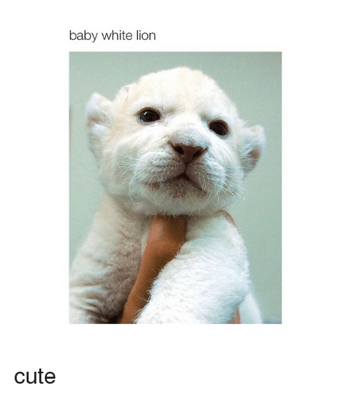 Lions: baby white lion cute