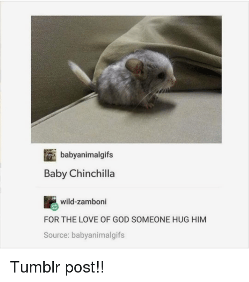 tumblr post: babyanimalgifs  Baby Chinchilla  wild-zamboni  FOR THE LOVE OF GOD SOMEONE HUG HIM  Source: babyanimalgifs Tumblr post!!
