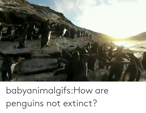 Penguins: babyanimalgifs:How are penguins not extinct?