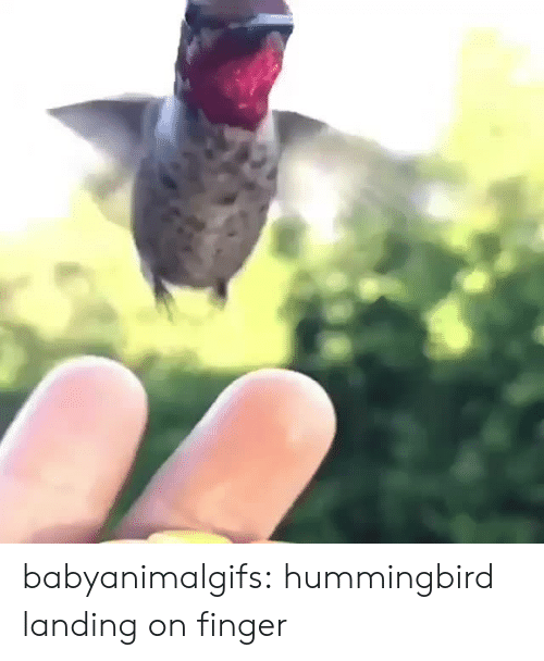 Hummingbird: babyanimalgifs:  hummingbird landing on finger