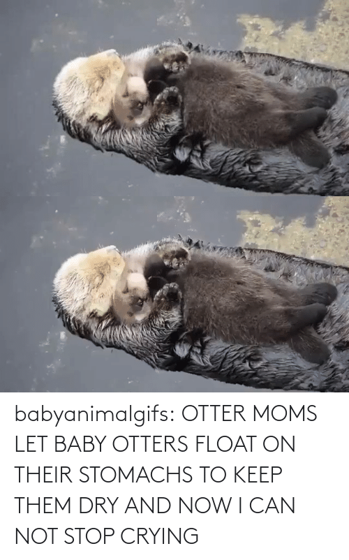 Let: babyanimalgifs:  OTTER MOMS LET BABY OTTERS FLOAT ON THEIR STOMACHS TO KEEP THEM DRY AND NOW I CAN NOT STOP CRYING