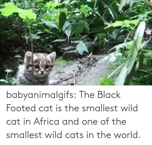 In Africa: babyanimalgifs: The Black Footed cat is the smallest wild cat in Africa and one of the smallest wild cats in the world.