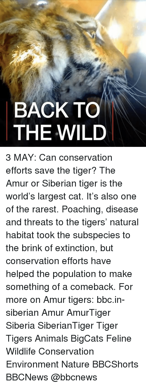 Animals, Memes, and Nature: BACK TO  THE WILD 3 MAY: Can conservation efforts save the tiger? The Amur or Siberian tiger is the world's largest cat. It's also one of the rarest. Poaching, disease and threats to the tigers' natural habitat took the subspecies to the brink of extinction, but conservation efforts have helped the population to make something of a comeback. For more on Amur tigers: bbc.in-siberian Amur AmurTiger Siberia SiberianTiger Tiger Tigers Animals BigCats Feline Wildlife Conservation Environment Nature BBCShorts BBCNews @bbcnews