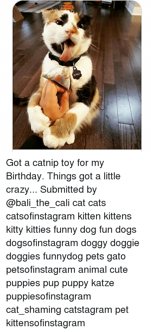 Bali: BALI Got a catnip toy for my Birthday. Things got a little crazy... Submitted by @bali_the_cali cat cats catsofinstagram kitten kittens kitty kitties funny dog fun dogs dogsofinstagram doggy doggie doggies funnydog pets gato petsofinstagram animal cute puppies pup puppy katze puppiesofinstagram cat_shaming catstagram pet kittensofinstagram