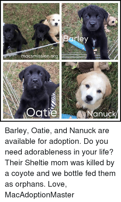 Life, Love, and Memes: Barley  macs on org  Oatie  anuck Barley, Oatie, and Nanuck are available for adoption. Do you need adorableness in your life? Their Sheltie mom was killed by a coyote and we bottle fed them as orphans.   Love, MacAdoptionMaster
