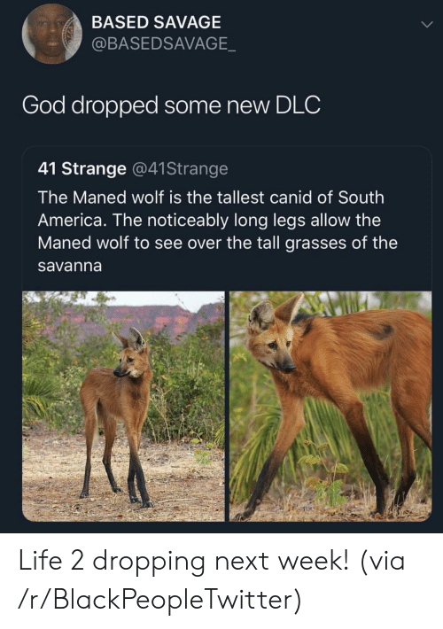 dlc: BASED SAVAGE  @BASEDSAVAGE  God dropped some new DLC  41 Strange @41Strange  The Maned wolf is the tallest canid of South  America. The noticeably long legs allow the  Maned wolf to see over the tall grasses of the  savanna Life 2 dropping next week! (via /r/BlackPeopleTwitter)