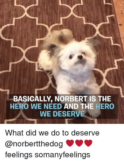 Memes, 🤖, and Hero: BASICALLY, NORBERT IS THE  HERO WE NEED AND THE HERO  WE DESERVE What did we do to deserve @norbertthedog ❤️❤️❤️ feelings somanyfeelings