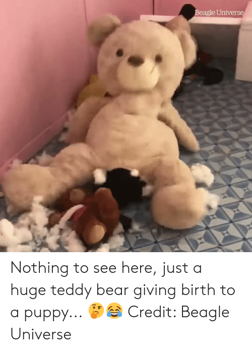 giving birth: Beagle Universe Nothing to see here, just a huge teddy bear giving birth to a puppy... 🤔😂  Credit: Beagle Universe