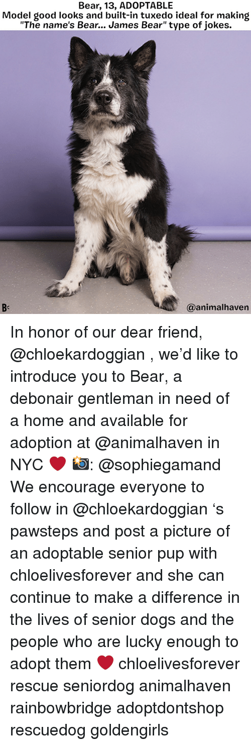 """Dogs, Memes, and Bear: Bear, 13, ADOPTABLE  Model good looks and built-in tuxedo ideal for making  """"The name's Bear... James Bear"""" type of jokes.  @animalhaven In honor of our dear friend, @chloekardoggian , we'd like to introduce you to Bear, a debonair gentleman in need of a home and available for adoption at @animalhaven in NYC ❤️ 📸: @sophiegamand We encourage everyone to follow in @chloekardoggian 's pawsteps and post a picture of an adoptable senior pup with chloelivesforever and she can continue to make a difference in the lives of senior dogs and the people who are lucky enough to adopt them ❤️ chloelivesforever rescue seniordog animalhaven rainbowbridge adoptdontshop rescuedog goldengirls"""