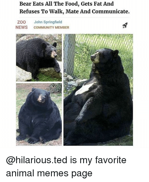 Community, Food, and Memes: Bear Eats All The Food, Gets Fat And  Refuses To Walk, Mate And Communicate.  ZOO John Springfield  NEWS COMMUNITY MEMBER @hilarious.ted is my favorite animal memes page