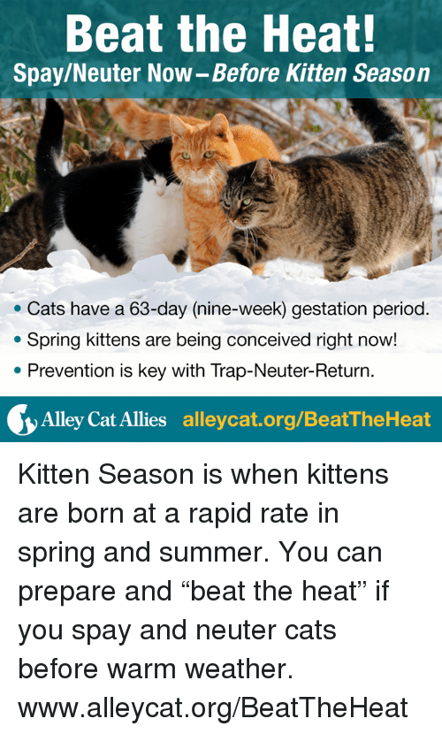 """Memes, Period, and Trap: Beat the Heat!  Spay/Neuter Now-Before Kitten Season  Cats have a 63-day (nine-week) gestation period  Spring kittens are being conceived right now!  Prevention is key with Trap-Neuter-Return  Alley Cat Allies  alleycat.org/BeatTheHeat Kitten Season is when kittens are born at a rapid rate in spring and summer. You can prepare and """"beat the heat"""" if you spay and neuter cats before warm weather.  www.alleycat.org/BeatTheHeat"""