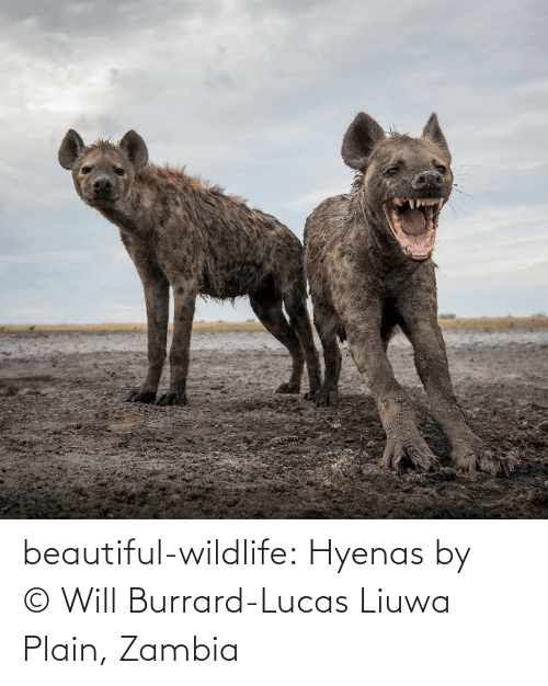 lucas: beautiful-wildlife:  Hyenas by © Will Burrard-Lucas  Liuwa Plain, Zambia