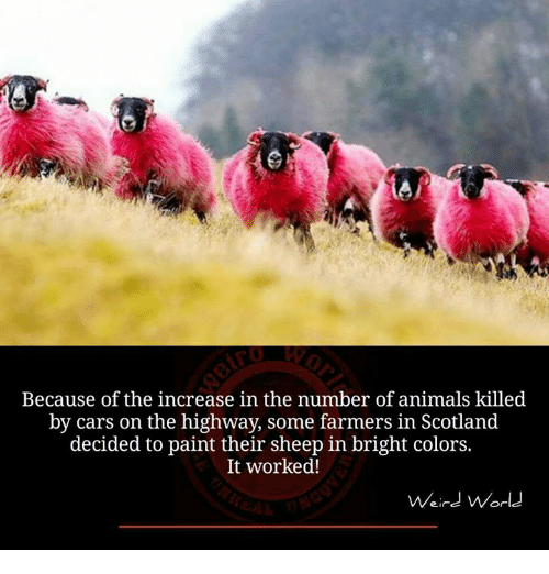 Animals, Memes, and Paintings: Because of the increase in the number of animals killed  by cars on the highway, some farmers in  Scotland  decided to paint their sheep in bright colors.  It worked!  Weird World