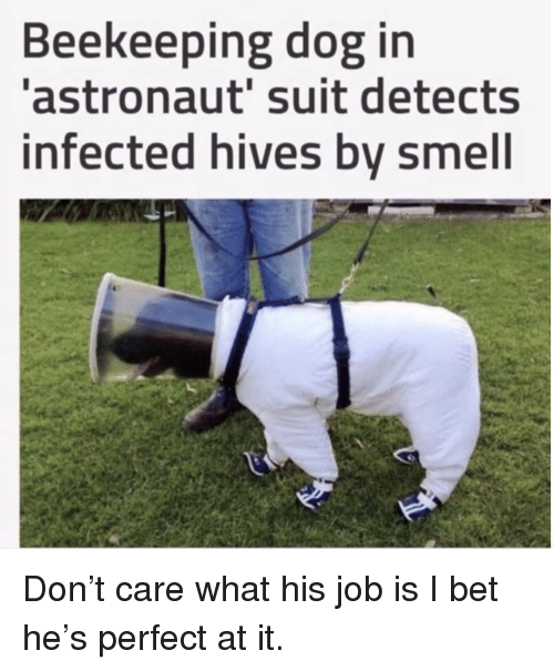 hives: Beekeeping dog in  astronaut' suit detects  infected hives bv smell Don't care what his job is I bet he's perfect at it.