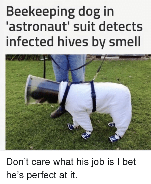 hives: Beekeeping dog in  astronaut' suit detects  infected hives by smell Don't care what his job is I bet he's perfect at it.