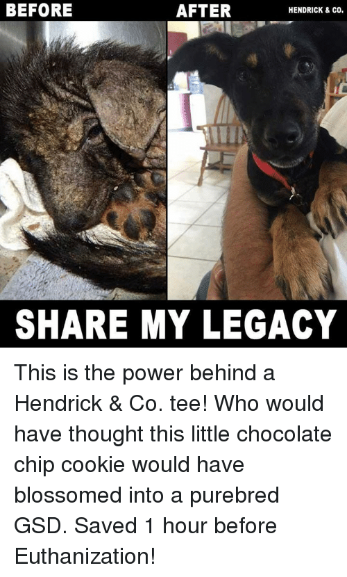 gsd: BEFORE  AFTER  HENDRICK & CO.  SHARE MY LEGACY This is the power behind a Hendrick & Co. tee! Who would have thought this little chocolate chip cookie would have blossomed into a purebred GSD. Saved 1 hour before Euthanization!