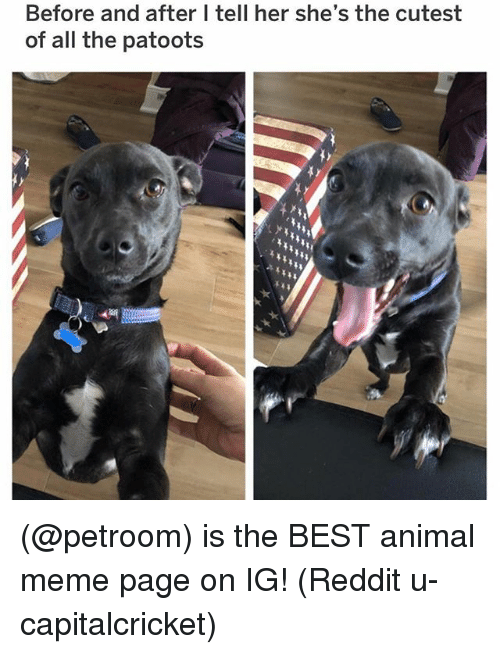 Animal Meme: Before and after I tell her she's the cutest  of all the patoots (@petroom) is the BEST animal meme page on IG! (Reddit u-capitalcricket)