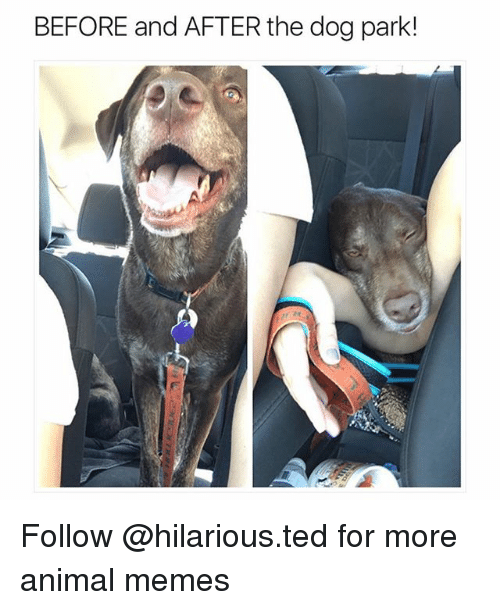 dogging: BEFORE and AFTER the dog park! Follow @hilarious.ted for more animal memes