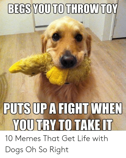 Indecisive Meme: BEGS YOU TO THROW  TOY  PUTS UP A FIGHT WHEN  YOU TRY TO TAKE IT 10 Memes That Get Life with Dogs Oh So Right