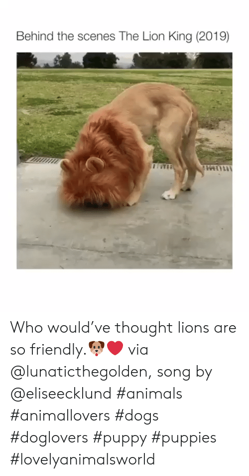 behind the scenes: Behind the scenes The Lion King (2019) Who would've thought lions are so friendly.🐶❤ via @lunaticthegolden, song by @eliseecklund #animals #animallovers #dogs #doglovers #puppy #puppies #lovelyanimalsworld