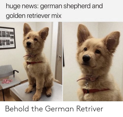 german: Behold the German Retriver