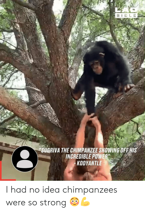 "So Strong: BELE  SUGRIVA THE CHIMPANZEE SHOWING OFE HIS  INCREDIBLE POWER""  KODYANTLE I had no idea chimpanzees were so strong 😳💪"