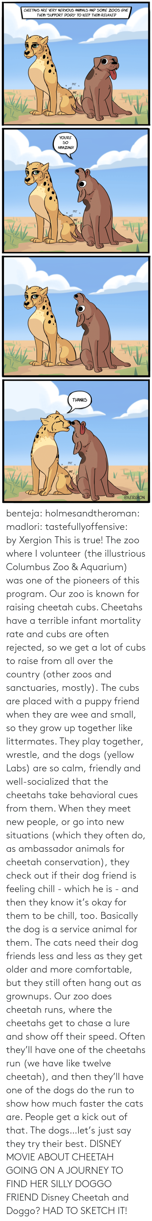 Meet: benteja:  holmesandtheroman:  madlori:  tastefullyoffensive: by Xergion This is true! The zoo where I volunteer (the illustrious Columbus Zoo & Aquarium) was one of the pioneers of this program. Our zoo is known for raising cheetah cubs. Cheetahs have a terrible infant mortality rate and cubs are often rejected, so we get a lot of cubs to raise from all over the country (other zoos and sanctuaries, mostly). The cubs are placed with a puppy friend when they are wee and small, so they grow up together like littermates. They play together, wrestle, and the dogs (yellow Labs) are so calm, friendly and well-socialized that the cheetahs take behavioral cues from them. When they meet new people, or go into new situations (which they often do, as ambassador animals for cheetah conservation), they check out if their dog friend is feeling chill - which he is - and then they know it's okay for them to be chill, too. Basically the dog is a service animal for them. The cats need their dog friends less and less as they get older and more comfortable, but they still often hang out as grownups. Our zoo does cheetah runs, where the cheetahs get to chase a lure and show off their speed. Often they'll have one of the cheetahs run (we have like twelve cheetah), and then they'll have one of the dogs do the run to show how much faster the cats are. People get a kick out of that. The dogs…let's just say they try their best.   DISNEY MOVIE ABOUT CHEETAH GOING ON A JOURNEY TO FIND HER SILLY DOGGO FRIEND  Disney Cheetah and Doggo? HAD TO SKETCH IT!