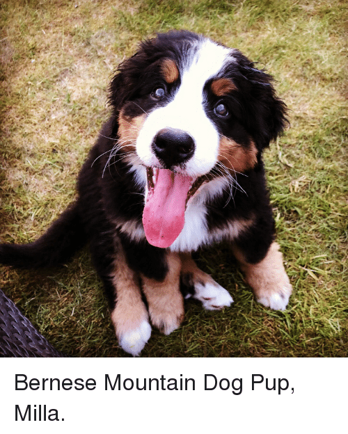 25 Best Memes About Mountain Dog Mountain Dog Memes