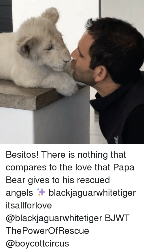 papa bear: Besitos! There is nothing that compares to the love that Papa Bear gives to his rescued angels ✨ blackjaguarwhitetiger itsallforlove @blackjaguarwhitetiger BJWT ThePowerOfRescue @boycottcircus