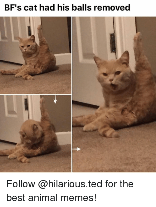 Animals Meme: BF's cat had his balls removed Follow @hilarious.ted for the best animal memes!