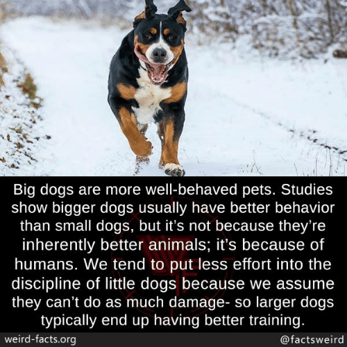 discipline: Big dogs are more well-behaved pets. Studies  show bigger dogs usually have better behavior  than small dogs, but it's not because they're  inherently better animals; it's because of  humans. We tend to put less effort into the  discipline of little dogs because we assume  they can't do as much damage- so larger dogs  typically end up having better training.  weird-facts.org  @factsweird
