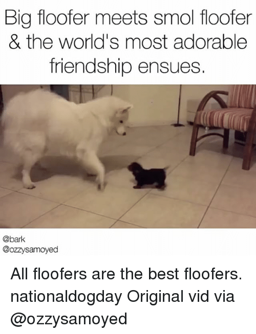 Memes, Best, and Friendship: Big floofer meets smol floofer  & the world's most adorable  friendship ensues.  @bark  @ozzysamoyed All floofers are the best floofers. nationaldogday Original vid via @ozzysamoyed