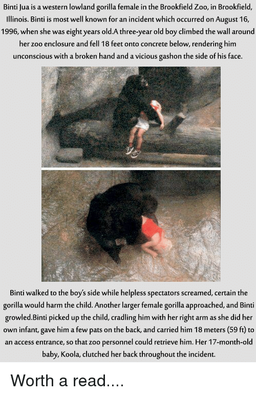 brookfield: Binti Jua is a western lowland gorilla female in the Brookfield Zoo, in Brookfield  Illinois. Binti is most well known for an incident which occurred on August 16  1996, when she was eight years old.A three-year old boy climbed the wall around  her zoo enclosure and fell 18 feet onto concrete below, rendering him  unconscious with a broken hand and a vicious gashon the side of his face  Binti walked to the boy's side while helpless spectators screamed, certain the  gorilla would harm the child. Another larger female gorilla approached, and Binti  growled. Binti picked up the child, cradling himwith her right arm as she did her  own infant, gave him a few pats on the back, and carried him 18 meters (59 ft to  an access entrance, so that zoo personnel could retrieve him. Her 17-month-old  baby, Koola, clutched her back throughout the incident. Worth a read....