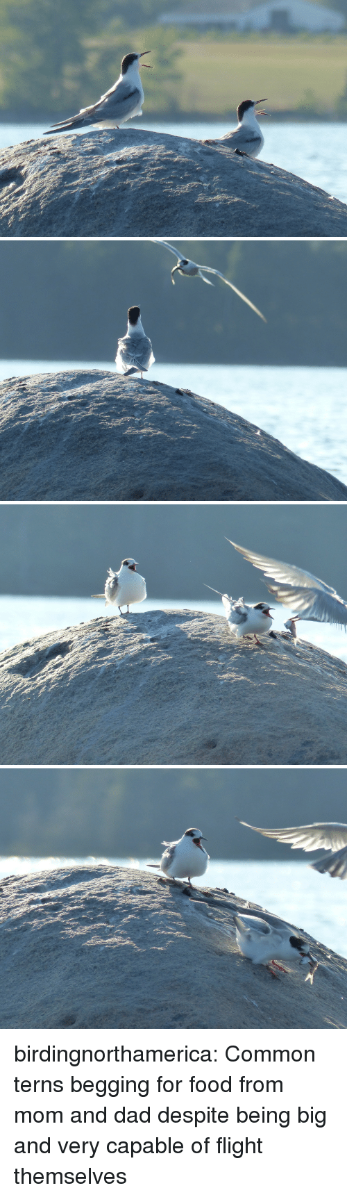 Begging For Food: birdingnorthamerica:  Common terns begging for food from mom and dad despite being big and very capable of flight themselves